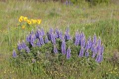 Broadleaf Lupine Flowers Blooming in Spring Stock Photos