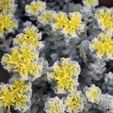 The Broadleaf Stonecrop - Cape Blanco sedum spathulifolium,Drumbeg Provincial Park, Gabriola , British Columbia, Canada. Broadleaf Stonecrop - Cape Blanco sedum royalty free stock image
