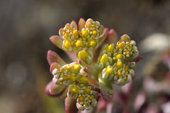 Broadleaf Stonecrop Royalty Free Stock Photos