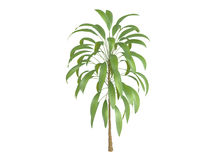 Broadleaved_Palm_Lily_(Cordyline_petiolaris) Stock Images