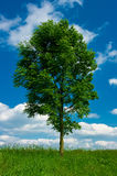 A broadleaved tree. Growing a grass field Royalty Free Stock Image