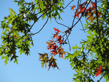 Broadleaved Tree. Close-Up of Colorful Leaves with Blue Sky Background Royalty Free Stock Photography