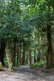 Broadleaved trees forest and a path. Forest with a high broadleaved trees and a path among them. Sao Miguel, Azores Islands, Portugal Royalty Free Stock Photo