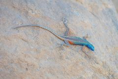 Free Broadley's Flat Lizard Stock Photos - 103053643