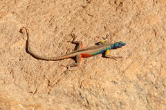 Broadleys平的蜥蜴 库存图片