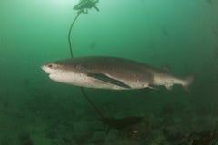 Broadnose母牛鲨鱼 免版税库存照片