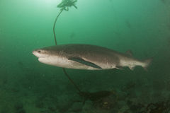 Broadnose krowy rekin Zdjęcia Royalty Free