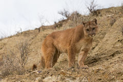 Broadside portrait of mountain lion Royalty Free Stock Photography