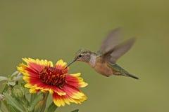 Broadtailed蜂鸟 免版税库存照片