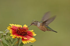 Broadtailed hummingbird Zdjęcia Royalty Free