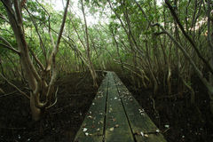 Broadwalk into mangrove forrest Stock Photo