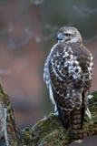 Broadwinged Hawk Buteo platypterus Arkivbild