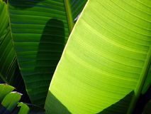 Broard Leaf Shrub Stock Photography