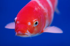 Brocaded carp face. A red koi  brocaded carp ,symbole of happiness and good luck Stock Photography