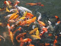 Brocaded carps Stock Photography