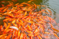 Brocarded carp in pond Stock Photo