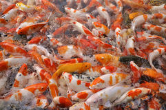 Brocarded Carps. Many Brocarded Carps in the water competing for food royalty free stock images