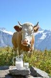 Brocca di latte contro il gregge delle mucche Fotografia Stock
