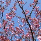 Broccato del fiore di ciliegia Fotografia Stock