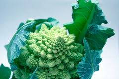 Broccoflower. Abstract photo of broccoflower (cross between brocolli and cauliflower) in blue/green tones Stock Photo