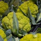 Broccoflowers ou couves-flor verdes Imagem de Stock