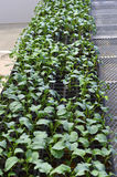 Broccol green seedlings. Stock Photo