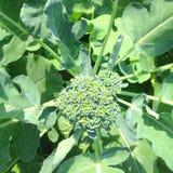 Broccoli stock afbeelding