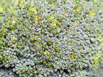 broccoli background Royalty Free Stock Photos