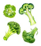 Broccoli Cabbage Brassica oleracea var.Italica, watercolor painting