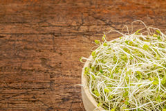 Broccoli and clover sprouts Stock Image