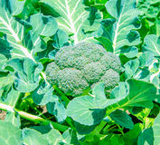 Broccoli cluster Royalty Free Stock Images