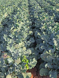 Broccoli Crop Rows Royalty Free Stock Photography