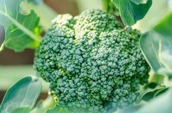 Broccoli 'De Ciccio' Stock Image