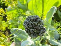Broccoli in de groei bij moestuin royalty-vrije stock foto's