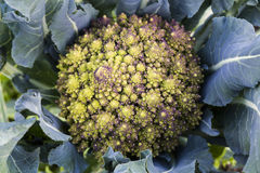 Broccoli de Romanesco Photographie stock libre de droits