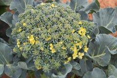 Broccoli di fioritura Fotografia Stock Libera da Diritti