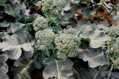 Broccoli F1 hybrid. Brassica oleracea var italica, hybrid cultivar with large somewhat lobed leaves and light green loose heads, Brassicaceae stock photo