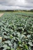 Broccoli field Stock Photo