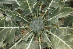 Broccoli on the field. Fresh broccoli growing in the organic garden royalty free stock photos