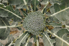 Broccoli on the field. Fresh broccoli growing in the organic garden royalty free stock images