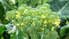 Broccoli flower Stock Photo