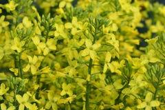 Broccoli gele bloemen stock afbeeldingen