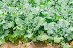 Broccoli growing in the field. fresh organic vegetables agriculture farming. farmland stock photo