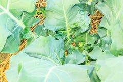 Broccoli  growing in home vegetable garden Stock Photography