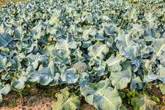 Broccoli growing up Stock Photography