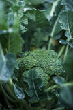 Broccoli. Growing on vegetable bed royalty free stock photos