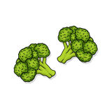 Broccoli illustration. Broccoli florets illustration; Fresh broccoli Stock Image