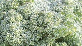 Broccoli macro sul campo di coltivazione Fotografia Stock