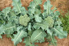 Broccoli overhead view Stock Photos
