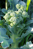 Broccoli plant Royalty Free Stock Photography